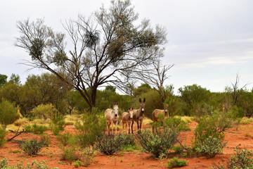 Australia, Northern Territory, Outback, Donkeys