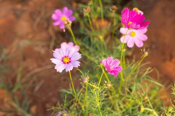 Cosmos flower in park,soft focus.