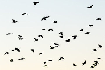 Jackdaws flying in the sky