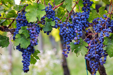 A bunch of blue grapes on grapevine, vineyard in autumn