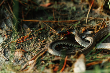 The grass snake, sometimes called a water snake, hides in the grass. Not poisonous snakes, fauna.