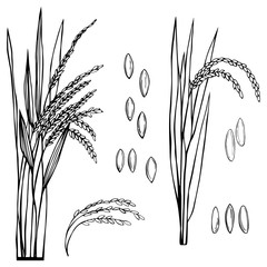 Spikelet of rice with the leaves on a white background. Vector sketch  illustration.