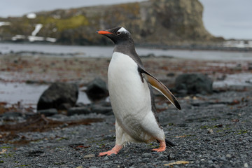 Gentoo penguin going on beach