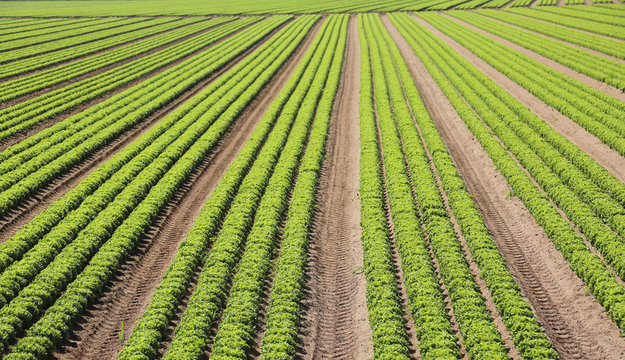 immense intensive cultivation of fresh green lettuce in the very