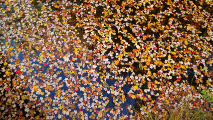 autumnal image of many colorful maple tree leaves floating in water during fall, autumn season in New England