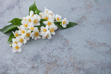 jasmine flowers on grey background