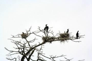 Cormorants on the dry tree.