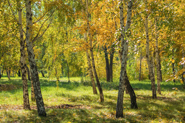 Sun in a birch autumn forest in the morning, bright background