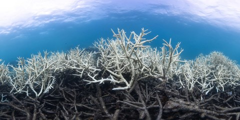 Bleaching and dead coral on the Great Barrier Reef, Australia
