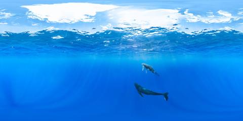Mother and calf humpback
