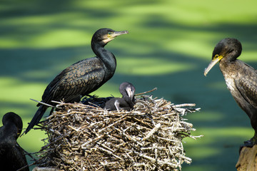 cormorant (Phalacrocorax auritus) with baby