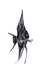 Fish Pterophyllum, aquarium drawing.