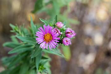 purple virgin asters in the late fall on natural blurred background