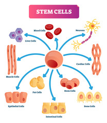 Stem cells vector illustration. Medical labeled diagram with all kind cells