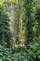Djungel Pflanten in Nicaragua an Bäumen