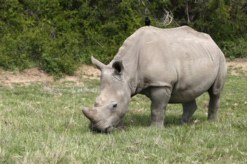 A white rhinoceros (Ceratotherium simum) in the wild in South Africa. This is an endangered animal.