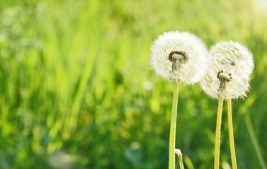 Dandelion with Green grass field and lens flare in the morning with space for text. .Dandelion flower meaning is Long lasting happiness and youthful joy.