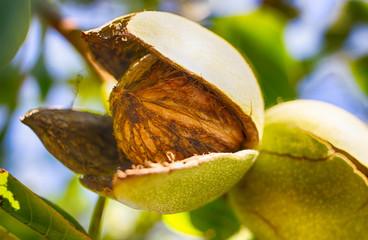Walnut on a walnut tree. Ripe nut. Harvest. Nut in a natural shell.
