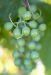 Green Grapes on Vine with Soft Focus Background
