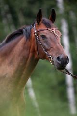 Pferdeportrait vor Birken