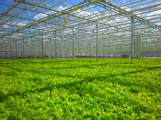 growing lettuce. manufacture. greenhouse