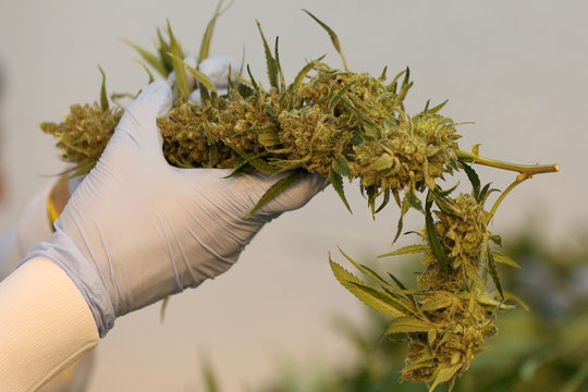 An employee sorts harvested cannabis buds at Hexo Corp's facilities in Gatineau