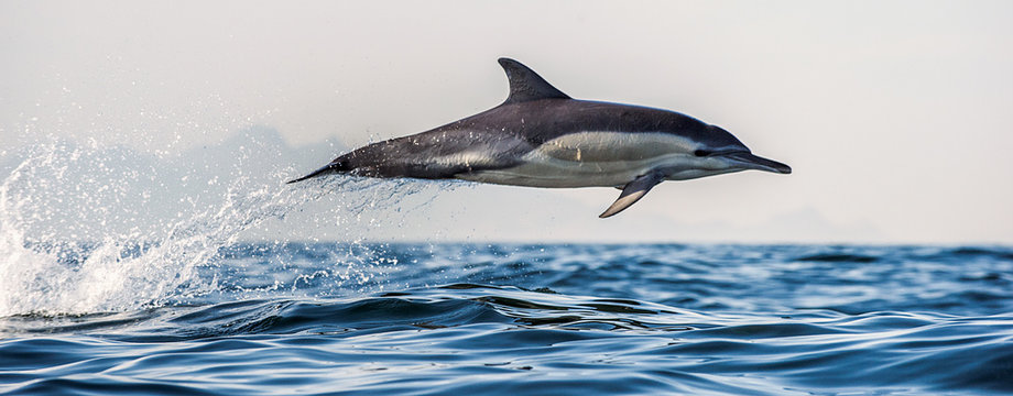 Dolphin in the ocean. Dolphins swim and jumping out of water. The Long-beaked common dolphin. Scientific name: Delphinus capensis. False Bay. South Africa.