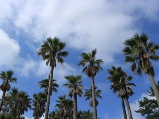 ヤシの木と青空 宮崎県 日本