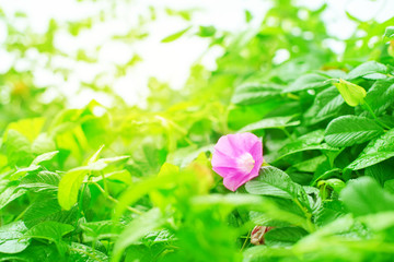 Natural green bushes flower fresh leaves in sunlight Bright rich background selective focus toning