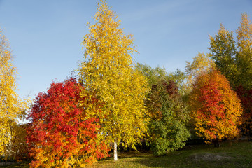 Red aspen and yellow birch on blue sky background