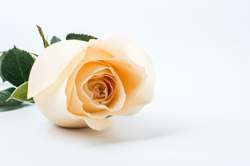 Yellow red rose on white background