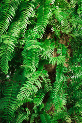 Natural fern pattern. Beautiful background with green fern leaves.
