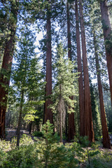 Giant sequoias at Yosemite National Park