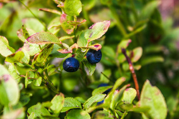 Fresh blueberries in the middle of mountains. Vaccinium myrtillus. Wild blueberries growing in mountains.