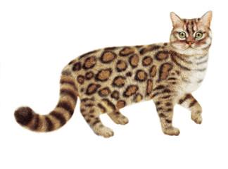chat Bengal, regardent, en marche, nourriture pour chat, de race, chaton, animal, élevage,