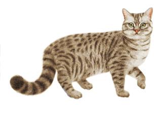 chat tigré, regardent ,en marche, nourriture pour chat, élevage,