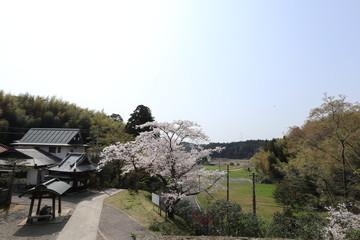 芝山仁王尊 桜 風景