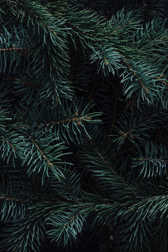 Creative layout made of winter evergreen tree branches. Nature  Christmas concept. Flat lay.