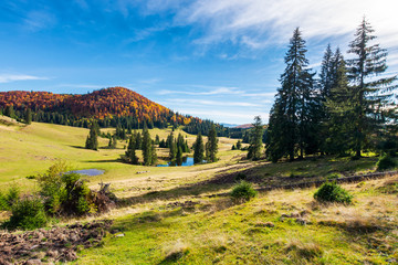 beautiful autumnal landscape in mountains. spruce trees on the hill. small pond in the distance. wonderful warm weather