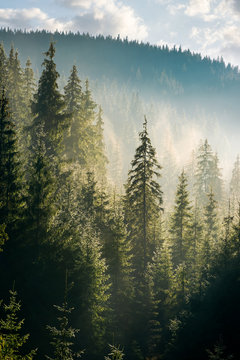spruce forest on the hill in morning haze. lovely nature scenery in beautiful light