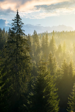 spruce forest on the hill in morning light. lovely nature scenery in haze