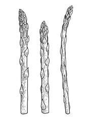 Asparagus illustration, drawing, engraving, ink, line art, vector