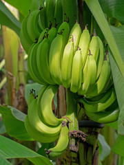 Bunch of bananas. Fruit still ripening on tree, green, unripe.