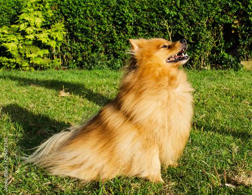 Pomeranian Dog Sitting Outdoors Stock Photo And Royalty Free Images