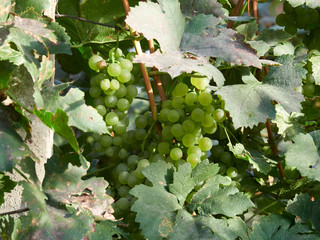 White grapes in a vineyard in Vrancea, near Focsani, Romania, at harvest time