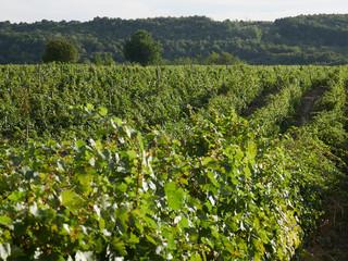 Vineyards in Vrancea, near Focsani, Romania, at harvest time