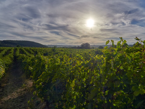 Sunset over vineyards in Vrancea, near Focsani, Romania, at harvest time
