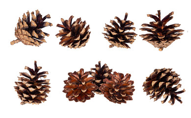 Pine cone. Dried cones