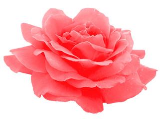 Red beautiful rose.
