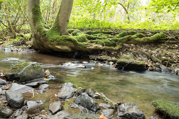 Creek with roots of tree in rainy wather. Oparno. Czech Republic.